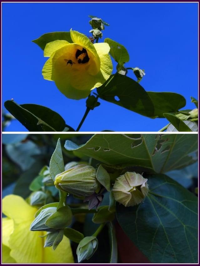黃槿可說是一種難得渾身是寶的海濱植物。(攝影/鄭清海)