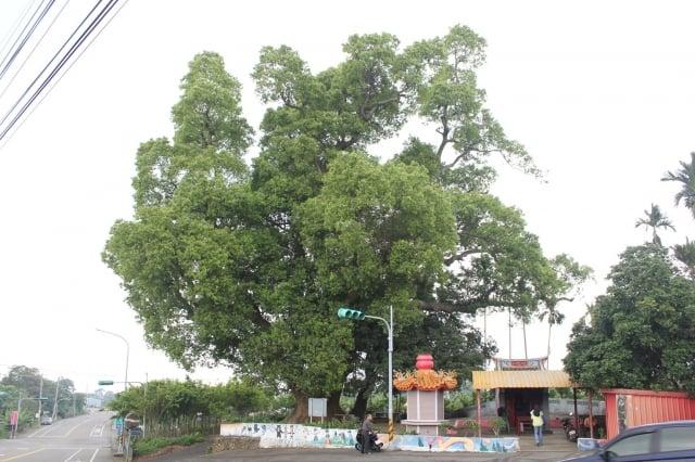 南投市樟普寮母女樹(300歲)。(福田樹木保育基金會提供)
