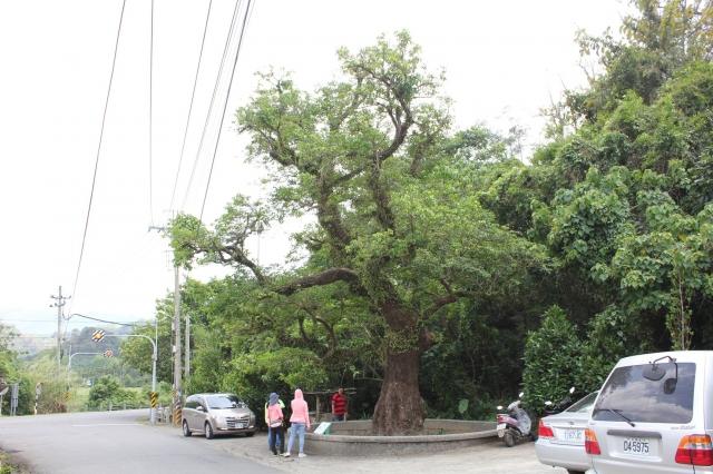 台南篤加阿立祖公廨前茄苳(80歲)。(福田樹木保育基金會提供)