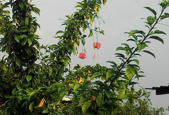 盞盞垂掛的華麗紅粉燈籠,花姿纖細嬌俏,吊燈扶桑花在綠葉襯托下顯得飄逸動人。(曾晏均/攝影)
