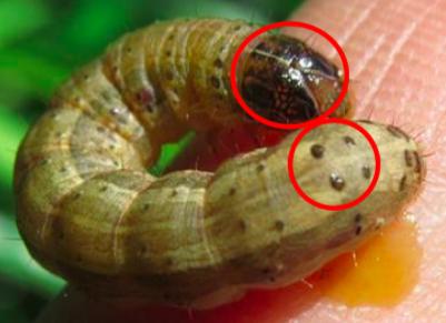 秋行軍蟲特徵為頭部有倒Y,尾部有4黑點。