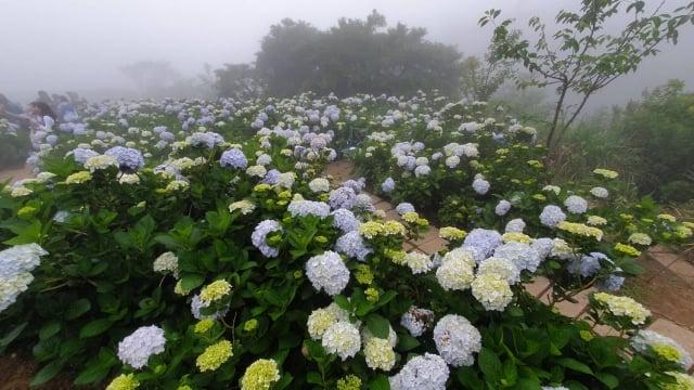 夏至繡球花盛開,人間莫忘「持盈守虛」之道。(攝影/楊皓羽)