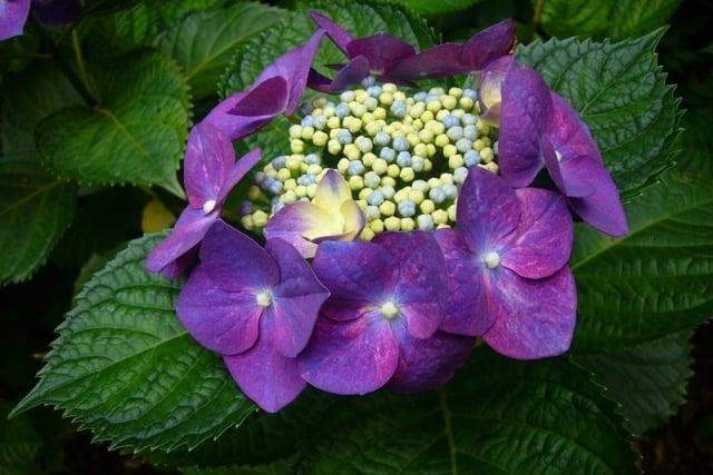 開展成圓盤狀的繡球花。(攝影/容乃加)
