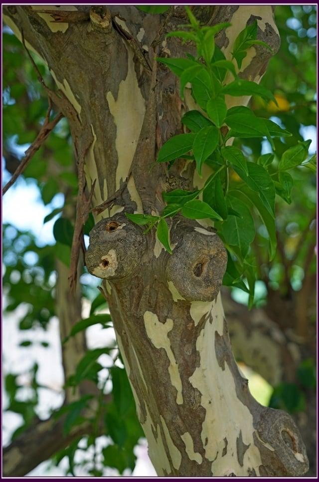 平滑的樹幹會蛻皮,每年會撐裂開老樹皮而剝落。(攝影/鄭清海)