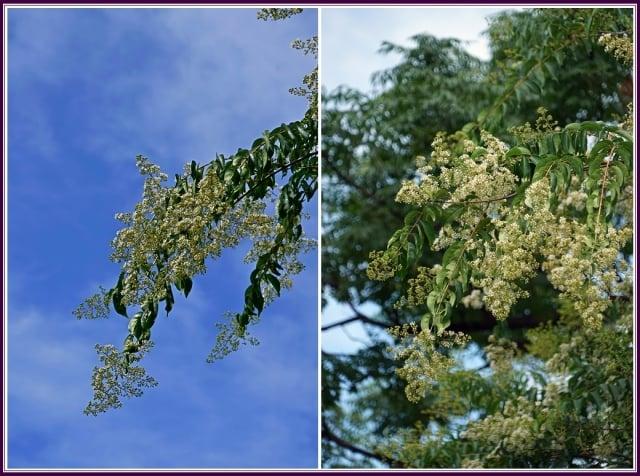 果實為長橢圓形蒴果,種子有翅,成熟時蒴果會自己裂開,種子隨風飄盪,飄到一個適合它生長的地方。(攝影/鄭清海)