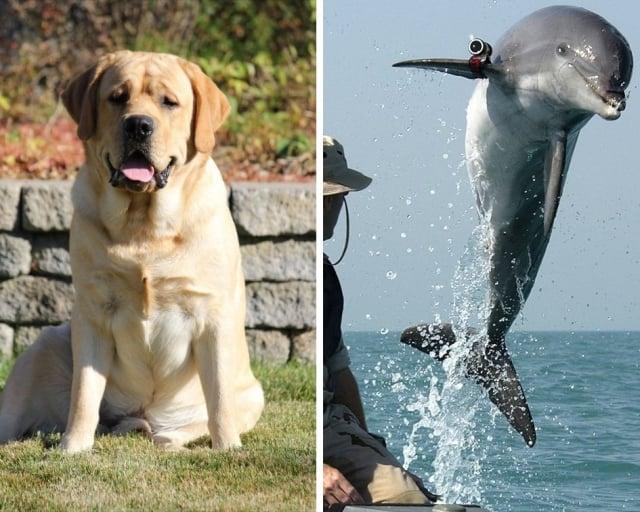 拉布拉多犬「班」的朋友「杜姬」很不一般,牠可是隻游泳好手——瓶鼻海豚!示意圖。(公有領域/大紀元合成)
