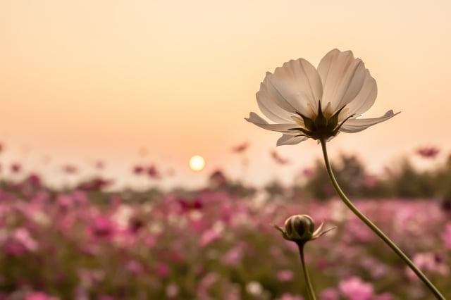 靜靜的等待一朵花開,待到拂曉,日光熹微。(123RF)