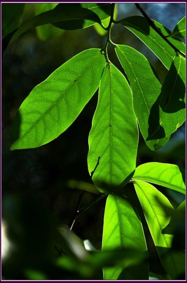 葉長橢圓形或倒長卵形,葉面濃綠,油亮光滑。(攝影/鄭清海)