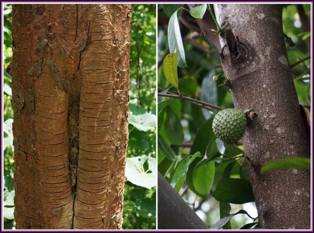 天皇最愛貢品獻,刺果懸垂莖幹間。黃綠小花葉油亮,媲美榴槤滋味甜。(攝影/鄭清海)