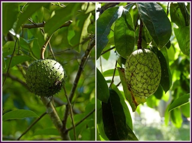 果實卵圓形或扁球形,果皮具多數刺棘狀尖突,熟時黃綠色,可食用。(攝影/鄭清海)