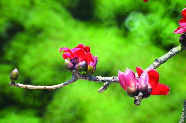 明年的春季來臨時,我仍會期待著欣賞木棉樹一場亮麗的演出,只不過我有時難免會帶一點傷感地想,那些曾經盛開一時的花朵都到哪裡去了呢?(123RF)