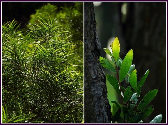 真正的葉子為二回羽狀複葉,只有在相思樹的小苗才看得到;長大以後真正的葉便消失而退化成葉狀的葉柄(即假葉)。(攝影/鄭清海)