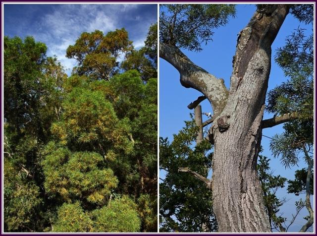 樹皮可治跌打損傷。(攝影/鄭清海)