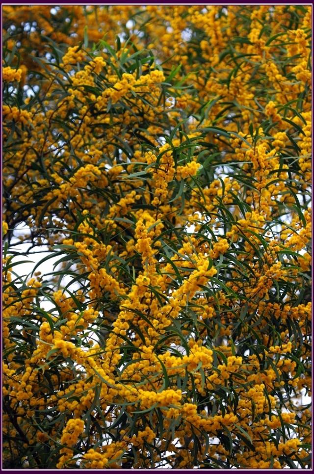 花金黃色,聞起來有輕淡的香味。果實為莢果。木材可供製枕木、坑木及農具,更供作薪炭及種植為行道、園景樹。(攝影/鄭清海)