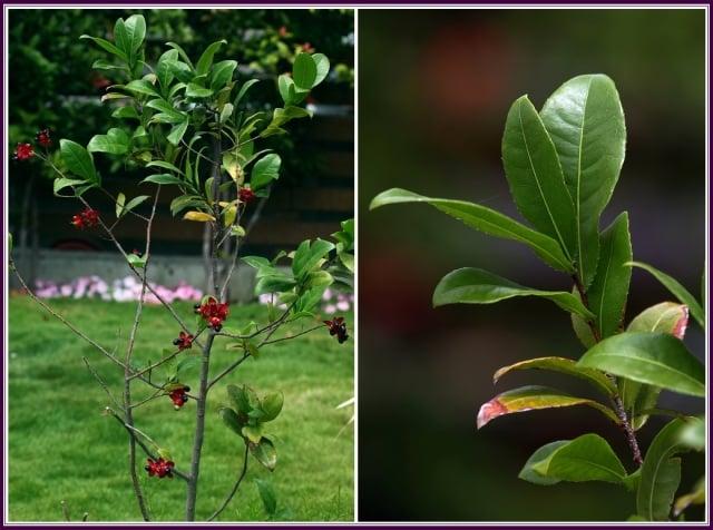 常綠灌木或是小喬木,最高可以長到5公尺。(攝影/鄭清海)
