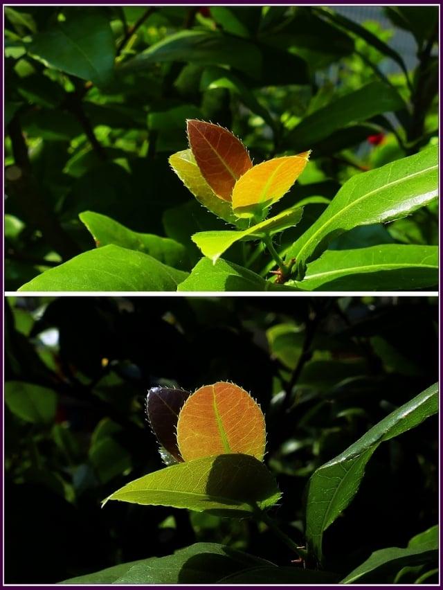 花盛開授粉後,黃色的花瓣很快就會飄落,而雄蕊跟萼片,不但不像其他植物一樣掉落,反而會變成鮮豔的紅色。(攝影/鄭清海)