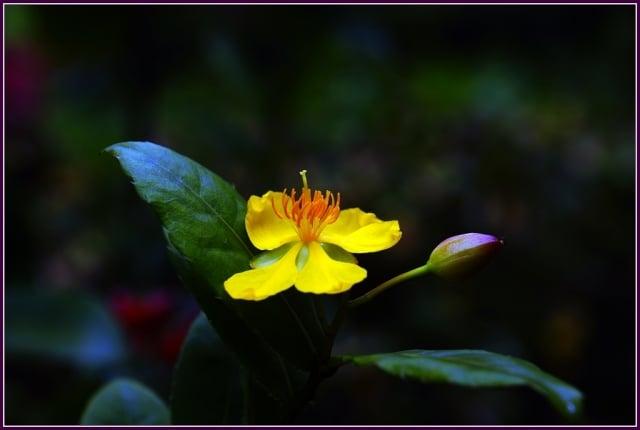 金蓮花開添美景,桂葉翠綠好身形。(攝影/鄭清海)