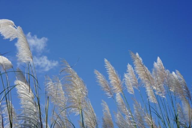 甜根子草近照。