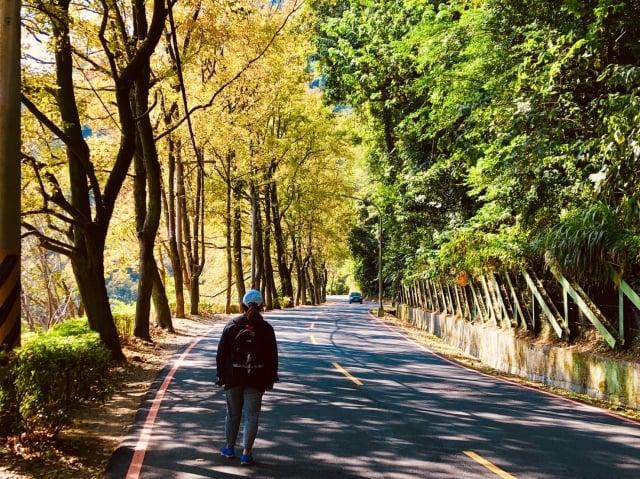 桃園石門水庫楓林步道兩旁,冬季時青楓的火紅與楓香的金黃相映成趣。(經濟部水利署北區水資源局提供)