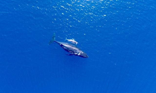 大翅鯨母子在南太平洋裡悠遊,大翅鯨每年固定會在東加王國海域養育孩子,作息穩定。(貝殼放大提供)