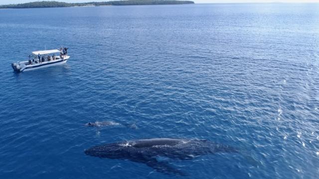 《男人與他的海》團隊在東加王國與大翅鯨母子合照。(貝殼放大提供)