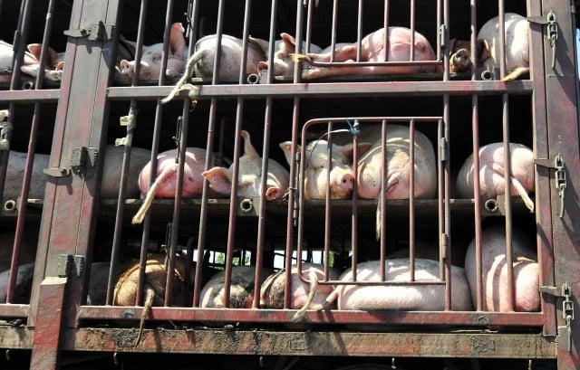 廣東佛山一官方認證屠宰場被發現在處理後的病死豬身上蓋檢疫合格章,並運往佛山、廣州等地銷售,每天達數千斤之多。(Getty Images)