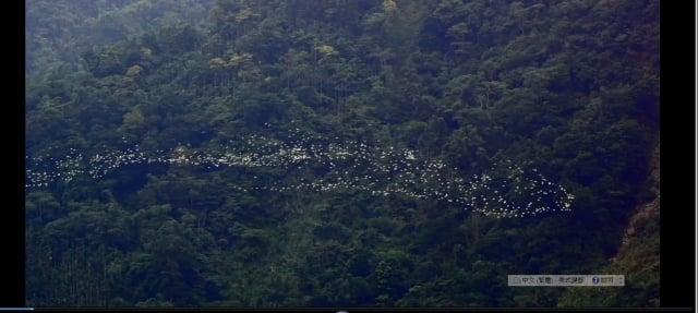 白頭鷺在鳳凰谷前隨著氣流變換隊伍盤旋。(劉燕明提供)