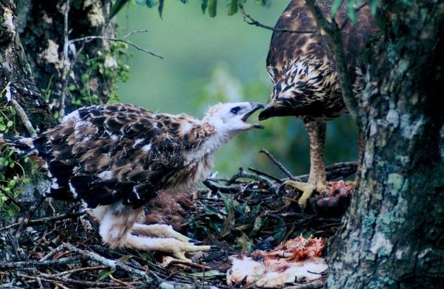 台灣最大猛禽「熊鷹」也有柔情的一面,為雛鳥細心撕開獵物,送進雛鳥的嘴。(劉燕明提供)