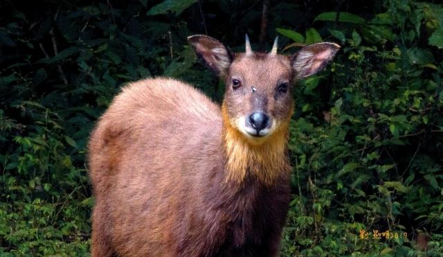 台灣野山羊(學名:Naemorhedus swinhoei),又稱台灣長鬃山羊、台灣羚羊、台灣氈鹿,是台灣特有種的動物,也是台灣唯一的野生牛科動物。(劉燕明提供)