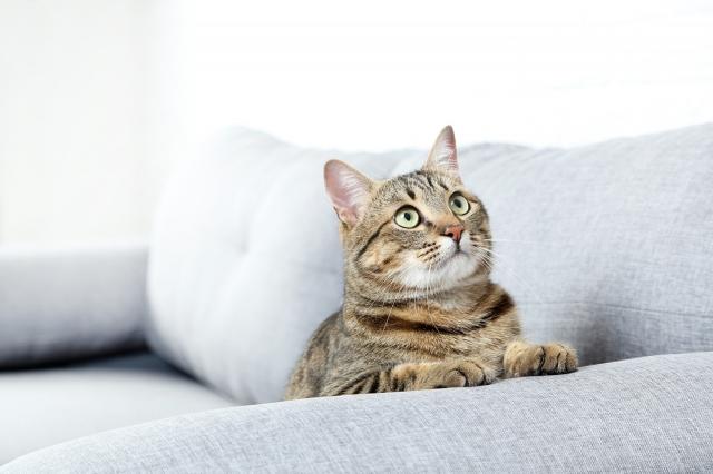 貓的耳朵直立時,表示牠們正處於警戒或專心的狀態。(Fotolia)