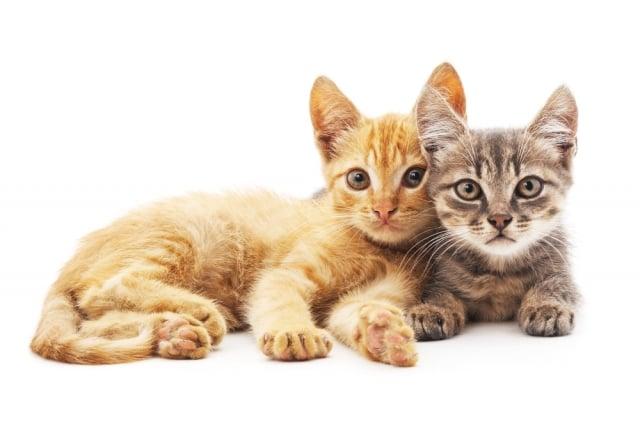 貓咪側臥或坐著時,腿會捲曲或者自然地伸展,呼吸速度正常偏慢。(Shutterstock)