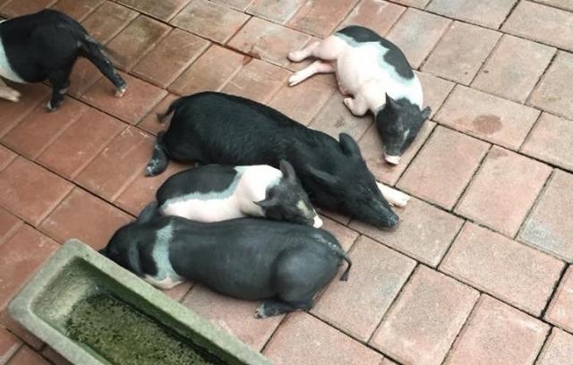 黃姓婦人飼養寵物豬多年,感情深厚,但意外遭咬傷,因照護不佳,傷口超過3個月久久不癒。