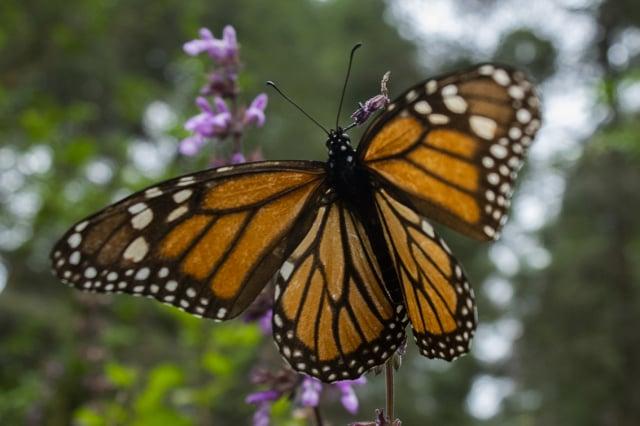 2020年2月3日,在墨西哥米卻肯州(Michoacán)樹林裡的一隻帝王斑蝶。(ENRIQUE CASTRO/AFP via Getty Images)