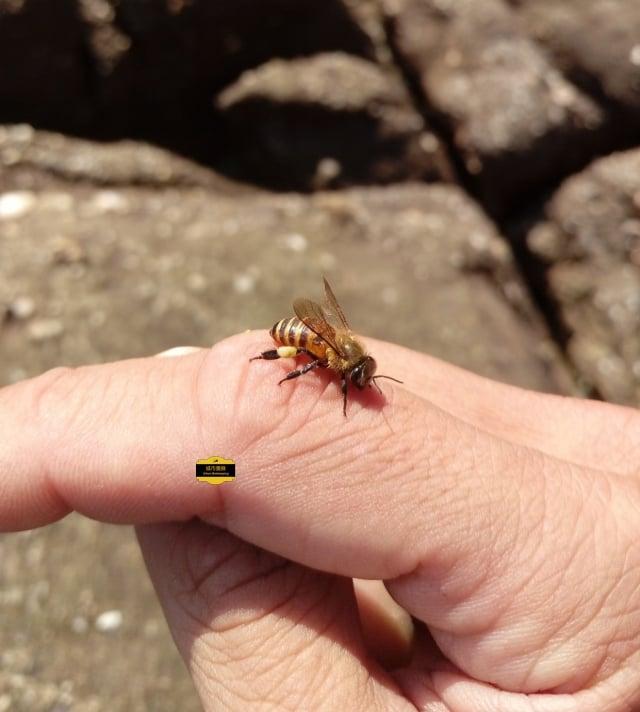 沒惹牠,友善的蜜蜂不會叮人。(蔡明憲提供)