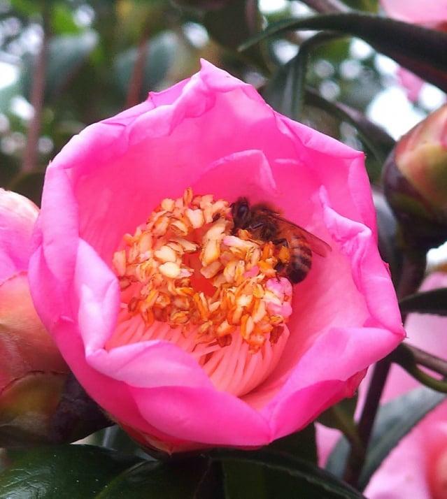 茶花上的蜜蜂。(攝影/楊子樊)