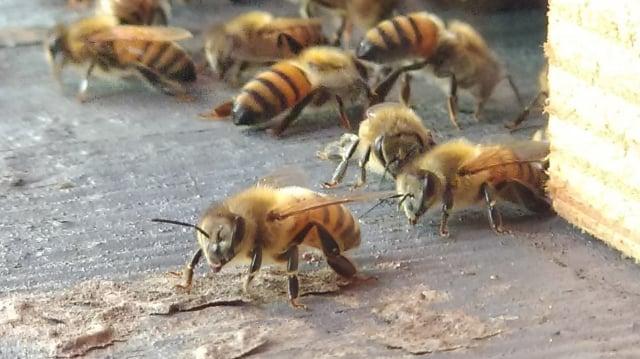 我們常常說蜜蜂是人類的好朋友,但我們卻沒有真的把蜜蜂當朋友。(攝影/楊子樊)