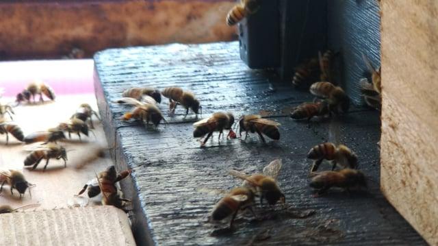 蜜蜂就像一把鑰匙,在接觸蜜蜂的同時,去關心更多物種的處境與環境的變化。(攝影/楊子樊)