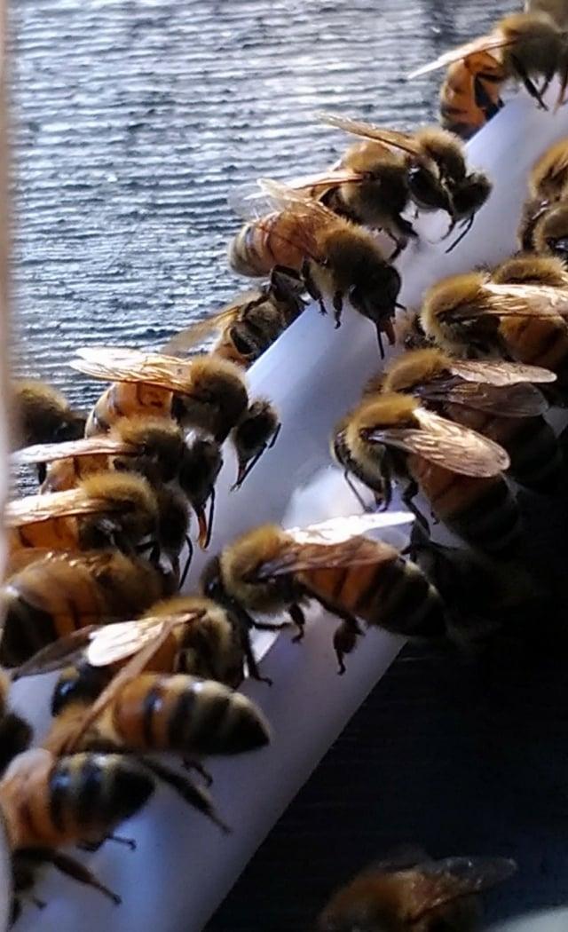 炎熱的天氣,蜜蜂也需要採集水分。(攝影/楊子樊)