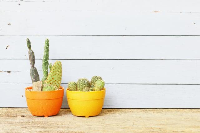 仙人掌不需要澆太多水,在炎熱的地方也可以生長。(Fotolia)