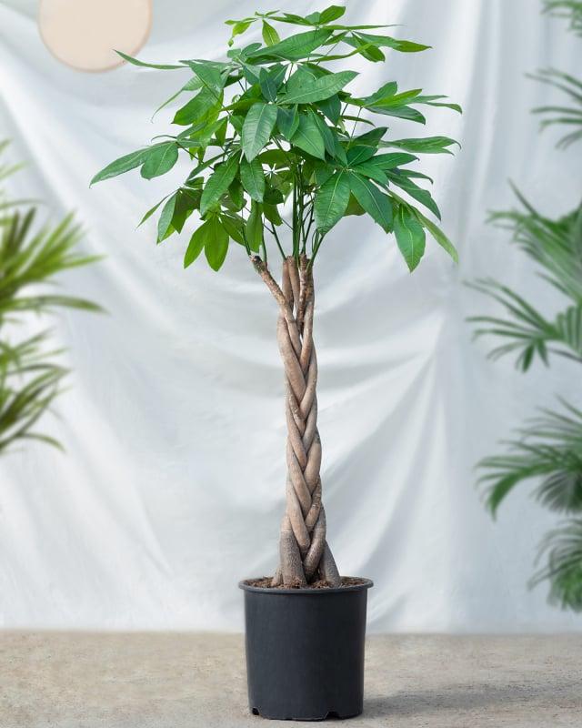 馬拉巴栗又稱為發財樹。(Shutterstock)