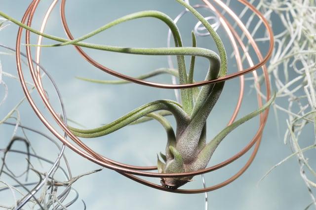愛好自由的雙子座可以種植空氣鳳梨(Air Plant)。(Shutterstock)