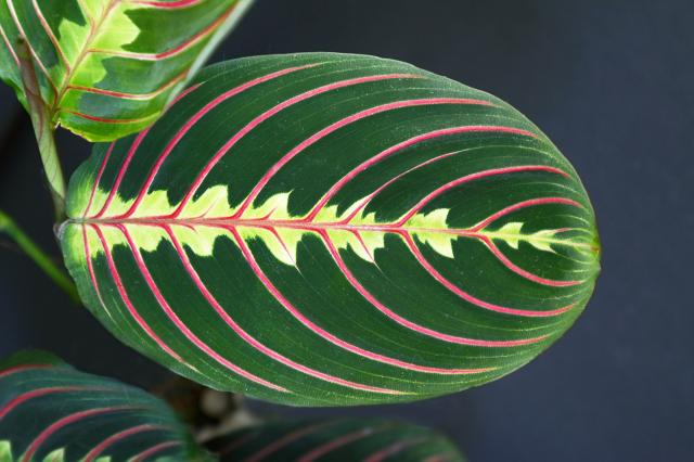 豹紋竹芋的葉片變化多樣,照顧時要小心肥料不要施加太多。(Shutterstock)