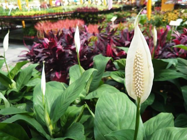 白鶴芋會開出白色的花朵,放在室內能讓人覺得祥和。(荔寶文創提供)