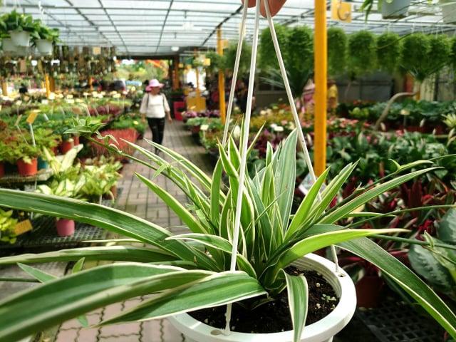 吊蘭又名「蜘蛛蘭」,對於去除甲醛的效果最佳。(荔寶文創提供)