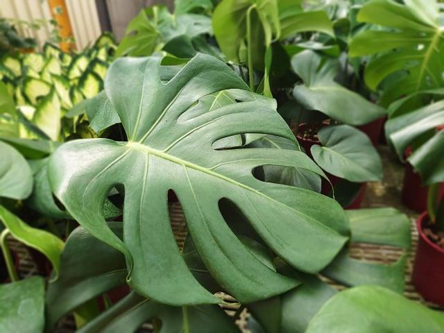 將龜背竹養在家中還可以淨化空氣。(荔寶文創提供)