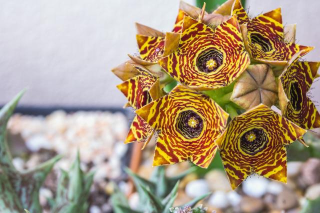 蘿藦科的多肉植物,顏色豔麗且形狀多變。(Shutterstock)