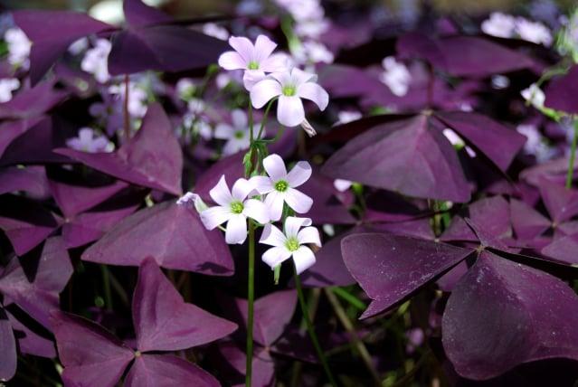 三角紫葉酢漿草的葉子會根據光線明暗而開闔。(Shutterstock)