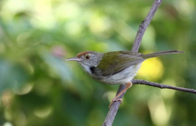 長尾縫葉鶯擅長用鳥嘴縫出鳥巢,就像裁縫師一樣。(Shutterstock)