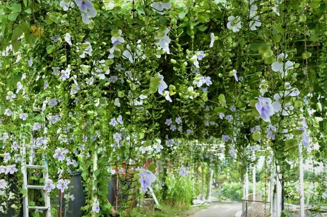 鄧伯花 蓮合園園區搭蓋的棚架上垂落的鄧伯花花瀑很吸引人,一串串垂落的紫花長藤,朵朵紫花都長得碩大盈滿。(記者賴瑞/攝影)