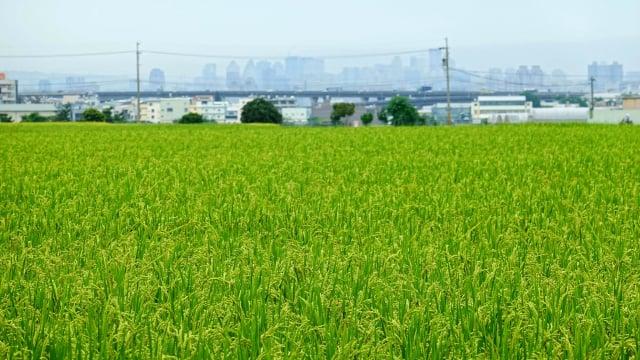 霧峰香米有機耕作,已聞名全台。